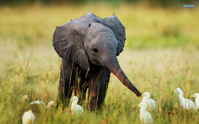 baby elephant and egrets
